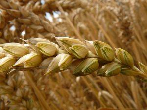 culture de blé traité sans pesticides pour une terre plus saine